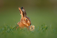 European Hare (Lepus europaeus) young leveret in whear field, South Norfolk, UK. April
