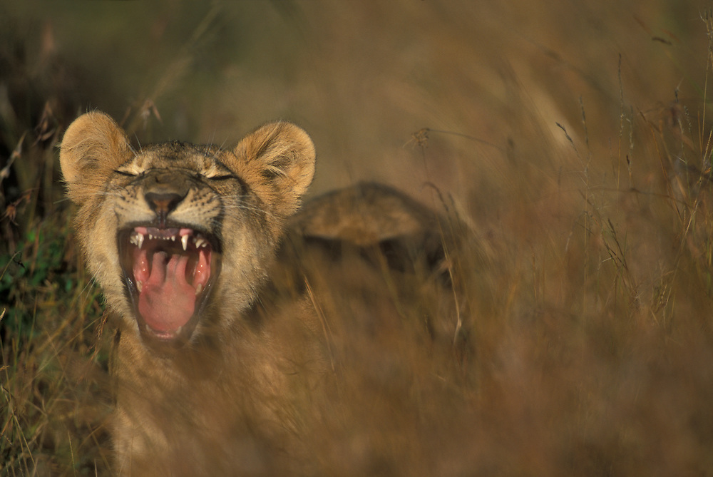 Africa, Kenya, Masai Mara Game Reserve, Lion cub (Panthera leo) bares teeth while yawning in tall grass in early morning