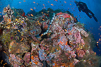 Banded Sea Snake, Anthias, and Diver