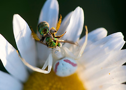 June 29, 2017 - Elkton, OREGON, U.S - A large crab spider clasps a small bee while hunting on a daisy growing in a pasture near Elkton in rural Southwestern Oregon. (Credit Image: © Robin Loznak via ZUMA Wire)