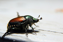 06 July 2008: Japanese beetle (Photo by Alan Look)