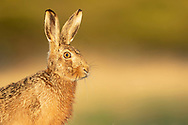 European Hare (Lepus europaeus) adult, close up of head, South Norfolk, UK. March