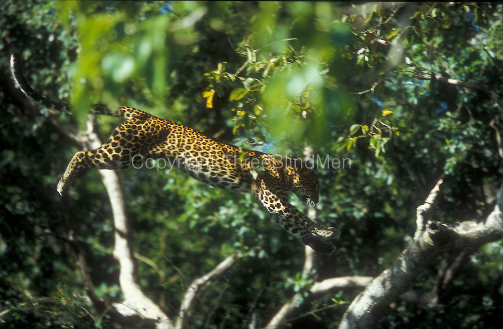 A young female leopard leaps between the branches of a Lunuwaraniya tree in Yala displaying the confidence of a cat that is very much at home in a tree.