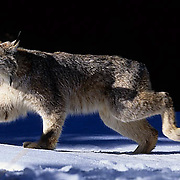 Canada Lynx, (Lynx canadensis) Montana. Adult running. Rocky mountains. Winter.  Captive Animal.