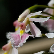 Epidendrum calanthum, an orchid near the Interoceanic highway in Peru