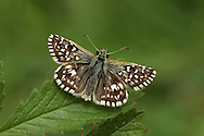 Grizzled Skipper Pyrgus malvae Wingspan 20mm. A well-marked skipper. Adult has dark grey-brown upperwings with striking white spots; underwings are reddish-brown with numerous pale spots. Flies May–June. Larva feeds on Wild Strawberry and various cinquefoils. Locally common in southern England and south Wales. Associated with undisturbed grassland and woodland clearings where larval foodplants thrive.
