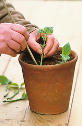 Taking cuttings from tender plants (Salvia guaranitica)<br /> Planting cuttings round edge of pot using cane to make small hole