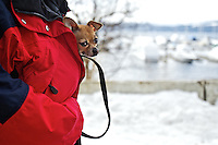 "Carol Stevens' dog Visa, a 2-year-old Chihuahua, peeks out from her jacket Friday during a sunny, but chilly, afternoon walk on the Centennial Trail in Coeur d'Alene. ""I take her everywhere,"" Stevens said about her dog. ""When it's cold like this, she doesn't last too long walking so I have to keep her warm."""