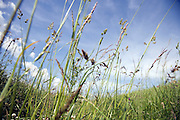 long wild grasses against a blue sky with some clouds