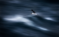 Black-browed Albatross (Thalassarche melanophris) at sea between Chile and Antarctica