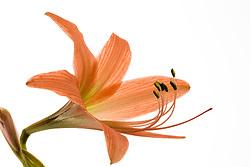 Amaryllis belladonna#5