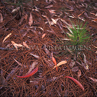 """Plantinha de pinus """"pinus elliottii"""", no Parque Municipal do Rio Vermelho, Florianopolis, Santa Catarina, Brasil. foto de Ze Paiva/Vista Imagens"""