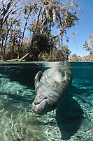 Florida manatee, Trichechus manatus latirostris, a subspecies of the West Indian manatee, endangered. An adult female manatee relaxes and rolls in the warm shallow waters that rim the springs. Tranquil and undisturbed behavior. Vertical orientation split image with clear water and warming sun rays. Three Sisters Springs, Crystal River National Wildlife Refuge, Kings Bay, Crystal River, Citrus County, Florida USA.