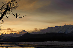 A bald eagle (Haliaeetus leucocephalus) surveys the Chilkat River at sunrise from a tree above the Chilkat River in the Alaska Chilkat Bald Eagle Preserve near Haines, Alaska. During late fall, bald eagles congregate along the Chilkat River in the Alaska Chilkat Bald Eagle Preserve to feed on salmon in what is believed to be the largest gathering of bald eagles in the world.