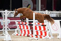 010, Pigon SG van Prinseveld<br /> Brp Keuring - Stal Hulsterlo - Meerdonk 2016<br /> © Hippo Foto - Dirk Caremans<br /> 17/03/16