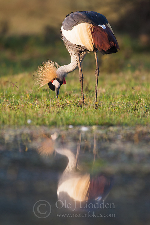 Grey Crowned Crane (Baleaica regulorum) in Lake Naivasha, Kenya