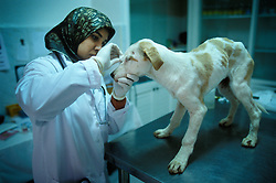 Newly arrived stray puppy dog is tended to by vet at the SPANA refuge, Marrakech, Morocco.