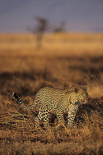 Leopard, (Panthera pardus) Hunting in tall grass. Kenya. Africa.