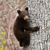 Bear Cub up Tree