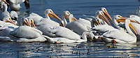 Group of American white pelicans (Pelecanus erythrorhynchos) swimming, Lake Chapala, Jalisco, Mexico