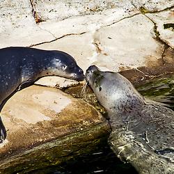 Foca-comum (Phoca vitulina). Registro feito em 2009. Animal em Cativeiro.<br /> <br /> <br /> ENGLISH: harbor seal. Picture made in 2009. Captive animal.