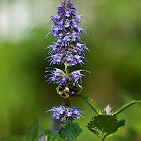 Blue Fortune Anise hyssop (Agastache foeniculum 'Blue Fortune')