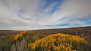 Rabbit Brush blooming near Pinedale, Wyoming
