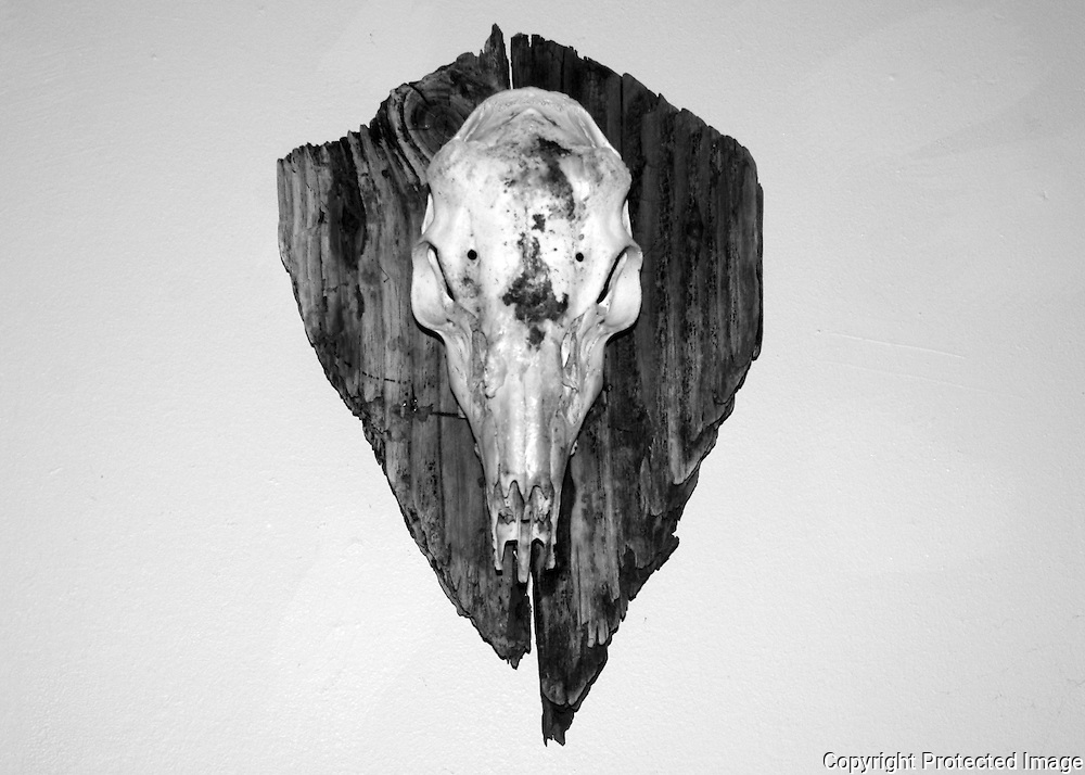 A skull of a whitetail buck, hornless with horn bumps on a plaque of driftwood from Jekyll Island Georgia. Black and white photo.