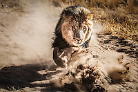 Botswana, Kalahari, private game reserve, captive male lion, running; lions are waiting to be released in the wild by the Wildlife Department of Botswana