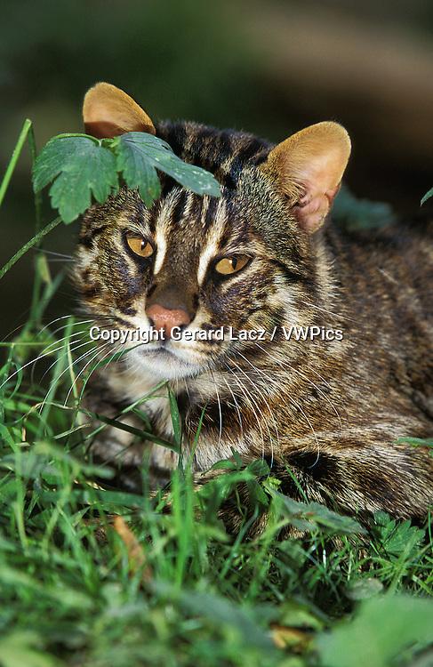 Amur Leopard Cat or Siberian Leopard Cat, prionailurus bengalensis euptilura, Adult