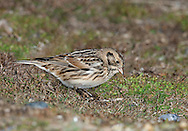 Lapland Bunting Calcarius lapponicus L 14-16cm. Nervous and wary bunting. Sexes are dissimilar. Adult male in summer (seldom seen here) has black face and throat defined by white line; crown is black and nape is chestnut. Underparts are mainly white and back is streaked brown and black. Bill is yellow. Adult female in summer (seldom seen here) has pale suggestion of male's head pattern. Winter adults and juvenile have reddish brown face with dark line defining ear coverts; crown is dark, back is streaked brown and note reddish brown wing panel and whitish wingbars. Whitish underparts are streaked on flanks. Voice Has a rattling flight call. Status Scarce passage migrant and winter visitor to coastal fields and saltmarshes, mainly in E England.