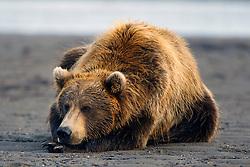 North American brown bear /  coastal grizzly bear (Ursus arctos horribilis) lying down on a beach, Lake Clark National Park, Alaska, United States of America