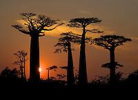 Grandidier's baobab tree (Adansonia grandidieri) Silhouetted at sunset, Western Madagascar