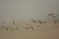 A flock of seagulls fly over a  New Jersey beach in an early  foggy spring morning.