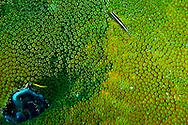 Bluehead Wrasse, Thalassoma bifasciatum, Juvenile / Initial phase, Grand Cayman