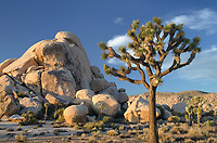 Joshua Tree (Yucca brevifolia), Joshua Tree National Park