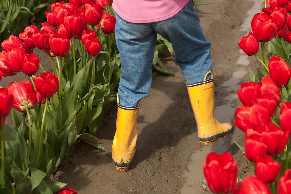 North America, United States, Washington, Mount Vernon, child in tulip fields at annual Skagit Valley Tulip Festival, held in April