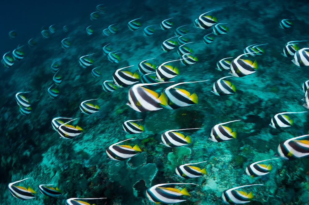 School of longfin bannerfish, Sipadan, Sabah, Malaysia.