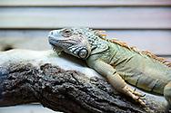 Iguana at Nausicaá, Boulogne-sur-Mer, Pas-de-Calais, France © Rudolf Abraham