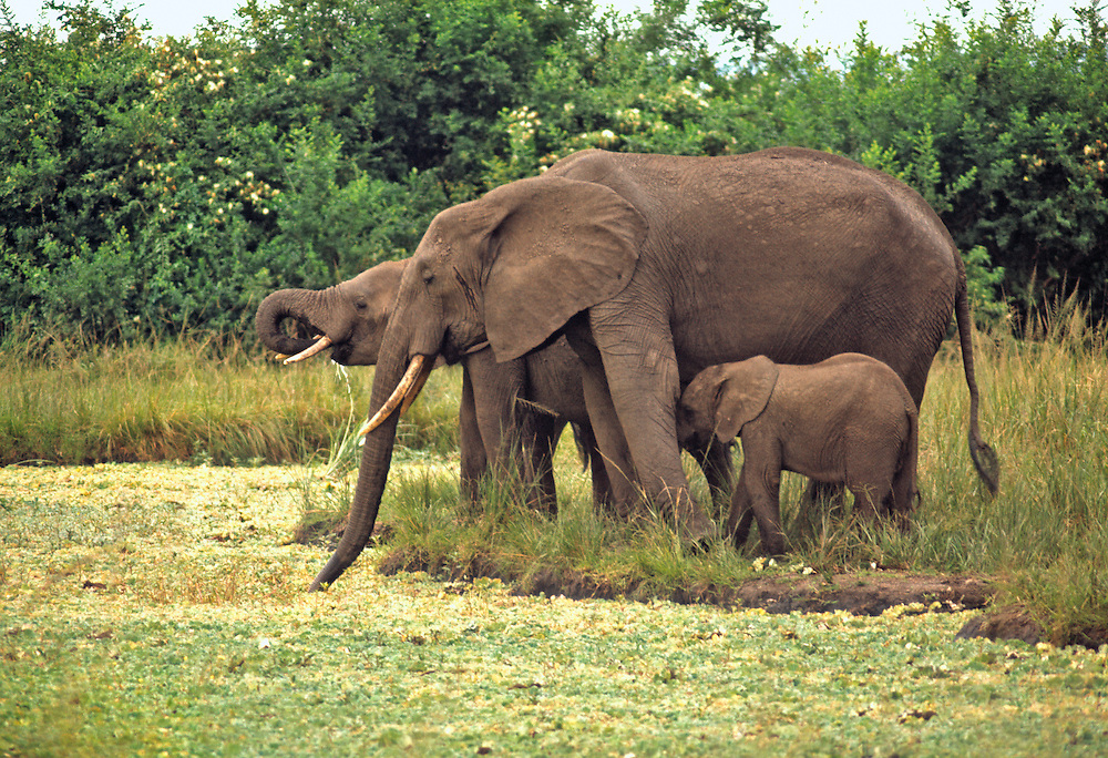 Elephants, one with a baby, drink from a watering hole at Queen Elizabeth National Park, Uganda.
