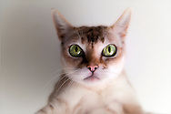 Cute little Singapura Cat with confused look on face, with big wide-open, eyes in sharp focus. This pedigree Singapura has big eyes typical of thie small affection breed.