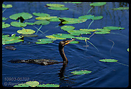 07: EVERGLADES CORMORANT, GRACKLE, GATOR