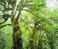 I set up my high resolution camera to capture the vibrant green moss growing from old growth trees in the Olympic Rain Forest in Olympic National Park.  My photo shows the lush green nature of the Pacific Northwest.