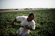 Foggia, Italia - 22 agosto 2013. Un immigrato rumeno lavora in un campo di pomodori nei pressi di Foggia in Puglia.<br /> Ph. Roberto Salomone Ag. Controluce<br /> ITALY - An immigrant works in a tomato field near Foggia in the italian southern region of Puglia on August 22, 2013.