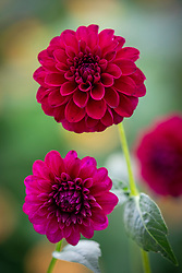Dahlia 'Gipsy Night' - syn. 'Gypsy Night'