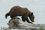 A brown bear spring cub explores the beach along the Cook Inlet at the McNeil River State Game Sanctuary on the Kenai Peninsula, Alaska. The remote site is accessed only with a special permit and is the world's largest seasonal population of grizzly bears in their natural environment.