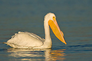 American White Pelican - Pelecanus erythrorhynchos - Adult in transition to breeding