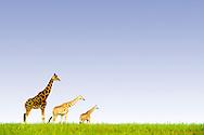 Giraffe in Murchison Falls National Park in Uganda.