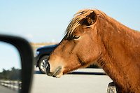Wild pony (horse), Assateague Island National Seashore, Maryland, USA