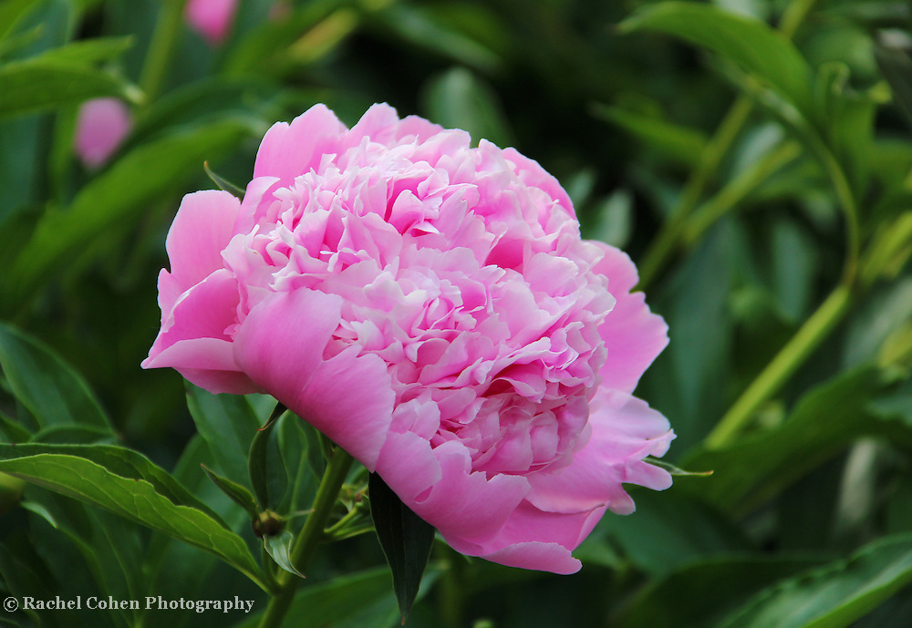 &quot;Peony Delight&quot;<br /> <br /> Delightful light pink Peony blossom!!<br /> <br /> Flowers by Rachel Cohen